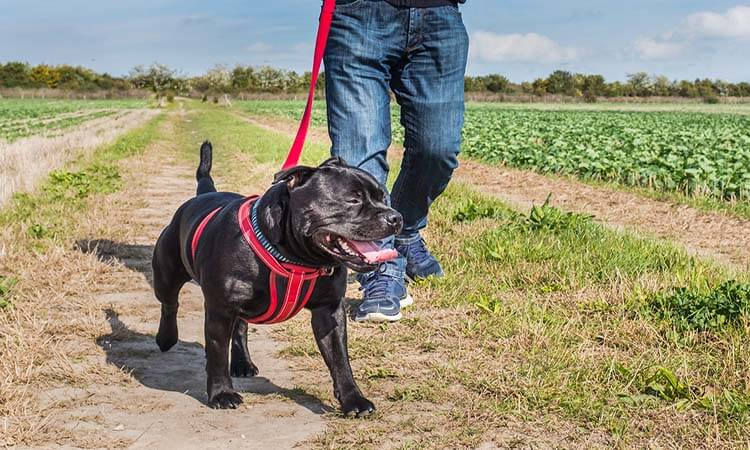 How Should A Dog Harness Fit An Easy Guide